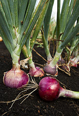 163px-ARS_red_onion[1]
