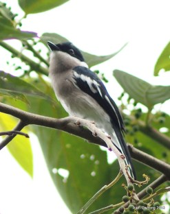 Bar-winged Flycatchshrike