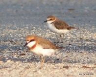 Lesser Sand Plover with Kentish behind