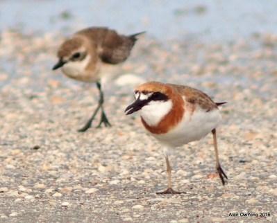 Lesser Sand Plover in breeding plumage