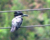 Crested Kingfisherr