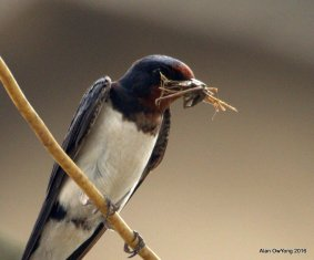 Barn Swallow with cricket for its young