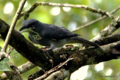 Malayan Cuckooshrike