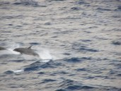 Dolphins running alongside