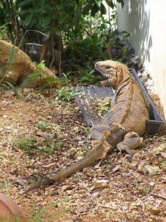 Not so blue iguana