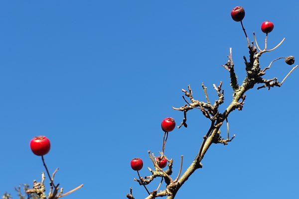 Fruit on a naked branch