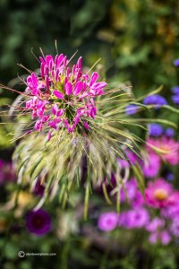 www.alantowerphoto.com Alan Tower Spokane photographer picture of cleome flower bloom with very sharp focus and soft focus bokeh