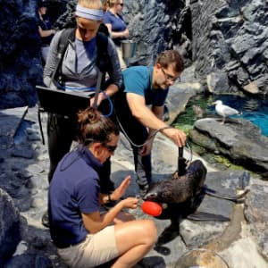 NOAA Fisheries scientists and aquarium staff work to collect spectral measurements from a cooperative northern fur seal pup at Mystic Aquarium.