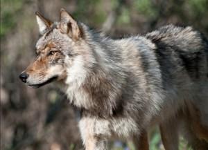 Alaskan Wolf. Image-National Park Service