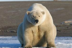 Polar bear on the north slope of Alaska.Eric Regehr, U.S. Fish and Wildlife Service
