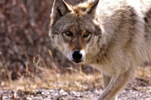 Wolf at Denali National Park. Image-Nilesh Patel