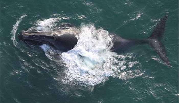 Search for Rare and Critically Endangered North Pacific Right Whale Begins