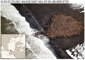 Part of a haul out of an estimated 35,000 walruses on a barrier island near Point Lay, Alaska, on September 27, 2014. (Credit: Photo by Corey Accardo/NOAA/NMFS/AFSC/NMML)