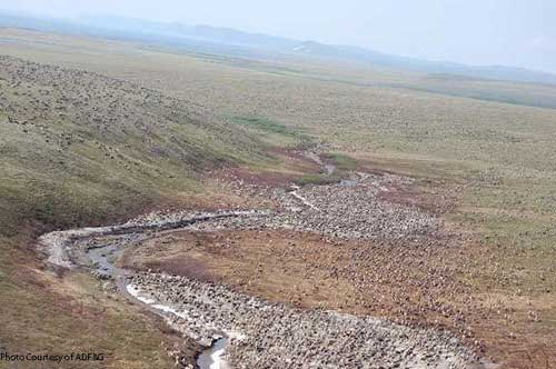 Western Arctic Caribou Herd Increases After Years of Decline