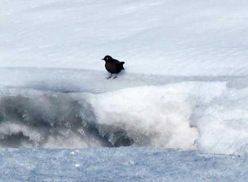 Dippers Swim Alaska Rivers Throughout Winter