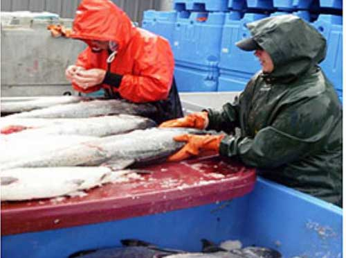 Harvests Dwindling in Copper River, Prince William Sound Opens