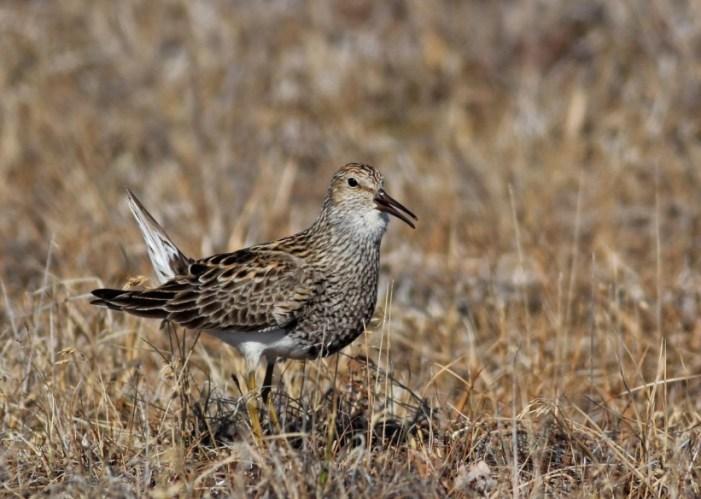 Alaska's Shorebirds Exposed to Mercury
