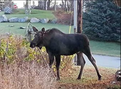 Sharp-Eyed Citizens Sought for 2019 Anchorage Moose Survey Project