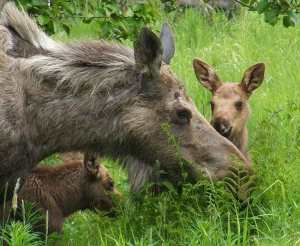 Mother Moose and two calves. Image-ANN file