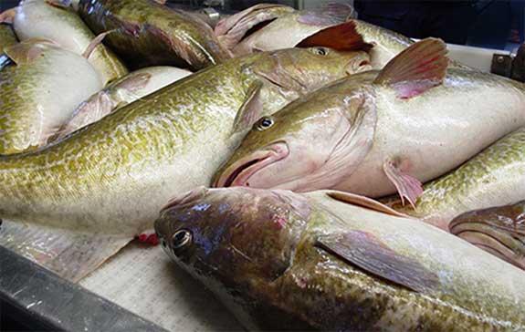Survey Shows Substantial Drop in Gulf of Alaska Cod Stocks