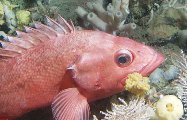 Shortraker rockfish  Photo: Rebecca Reuter, NOAA Fisheries