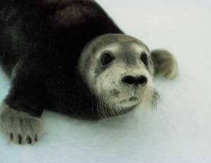Bearded Seal. Image-NOAA Fisheries