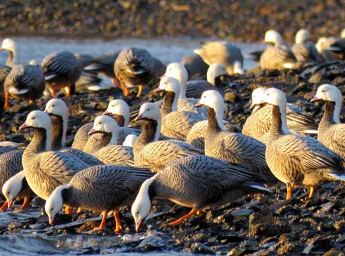Emperor Goose Hunt Open to Alaska Residents for the First Time in 30 Years