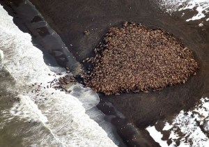 Just days before the number of walrus estimated to have hauled out on shore was estimated at 1,500. Image-NOAA