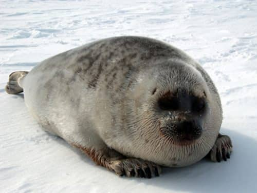 Lawsuit Launched to Protect Arctic Habitat of Endangered Ice Seals