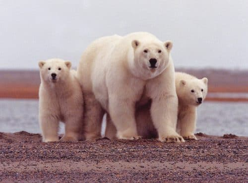 Group Creates Polar Bear Conservation Plan