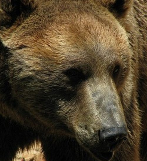 Marauding Brown Bear Dispatched by Sitka Troopers