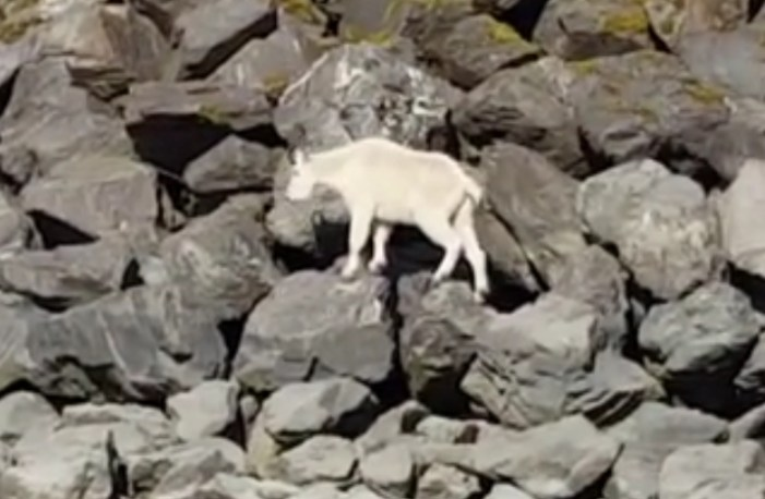 Interference Results in Mountain Goat Drowning Near Seward's Sealife Center