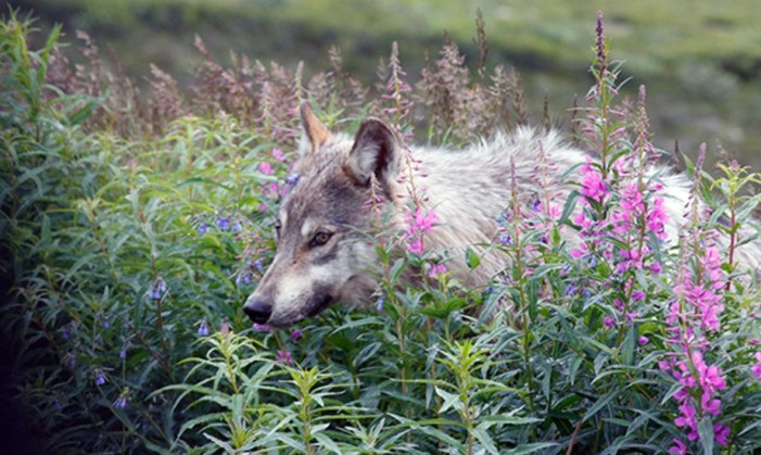 Wolf Hunting near Denali, Yellowstone Cuts Wolf Sightings in Half