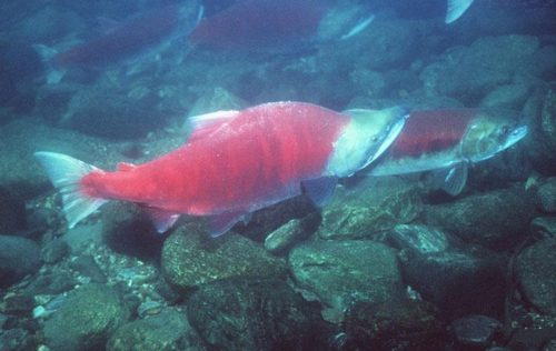 Alaskans Sue State to Protect Wild Salmon