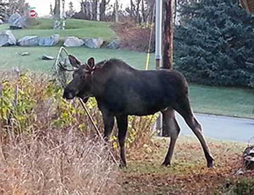 Don't Leave Moose Hanging: Take Time to Prevent Urban Moose Entanglements
