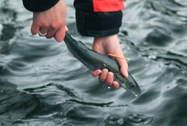 A juvenile sablefish, tagged and ready to be released back into the wild.  Photo: Kari Fenske, NOAA Fisheries