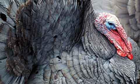 Researcher: Turkeys a Major Part of Ancestral Pueblo Life