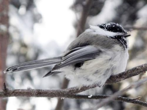 Alaska Chickadees are Brainy Birds