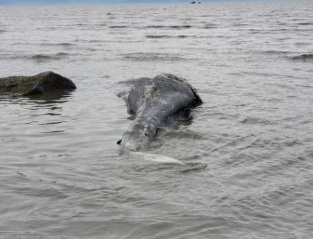Young Gray Whale Found Dead at Clam Gulch