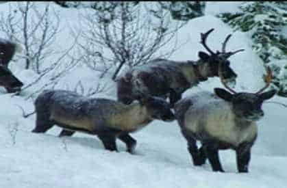 Lawsuit Filed to Protect Dwindling Numbers of Mountain Caribou