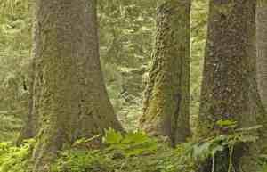 Tongass National forest. Credit: Audubon Society