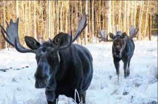 """It's """"Where's Waldo"""" Alaska Style – Help Count Our Anchorage Bowl Moose this Weekend!!"""