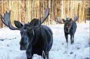 Two moose in snow. Image-ADF&G
