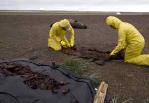 Photo by Kelsey Gobroski, courtesy UA Museum of the North Casey Clark and Nicole Misarti, right, remove the bones from a walrus that was trampled by other walruses near Point Lay, Alaska, in 2015.