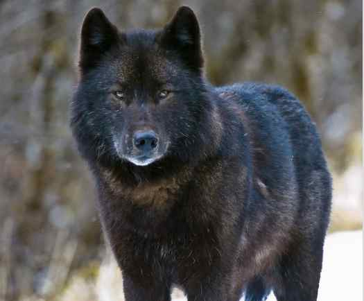 Endangered Species Protections Sought for Rare Wolf in Southeast Alaska