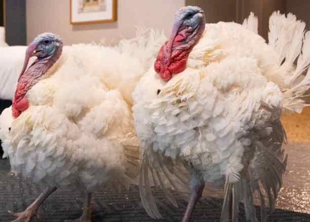 Turkeys Corn & Cob Up for White House Pardon Tuesday