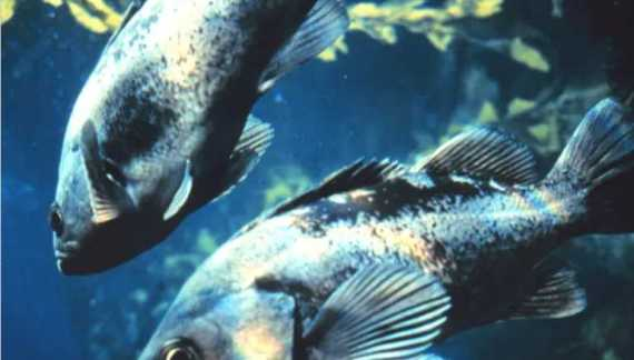 Rockfish study adds local ecological knowledge to inform fisheries management