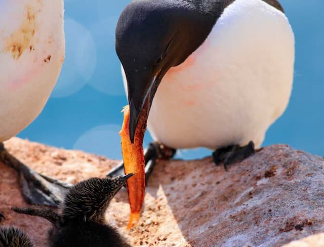 Arctic Seabirds Are Less Heat Tolerant, More Vulnerable to Climate Change