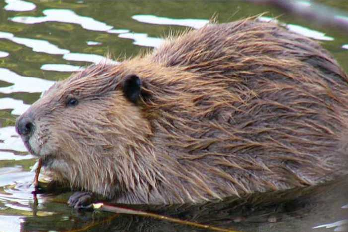 Beavers not always to blame for fever