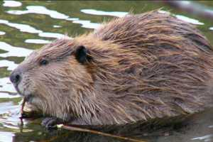 Beavers get more than their fair share of blame for spreading Giardia. Image-Frank Zmuda, Alaska Department of Fish and Game